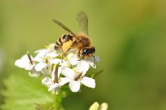 Zonandrena flavipes